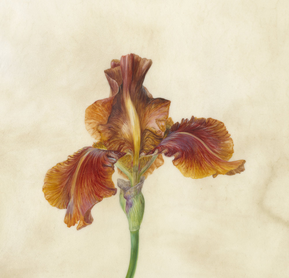 Iris Recogniton IV Benton Caramel  watercolour on vellum  45 x 45 cm framed  sold