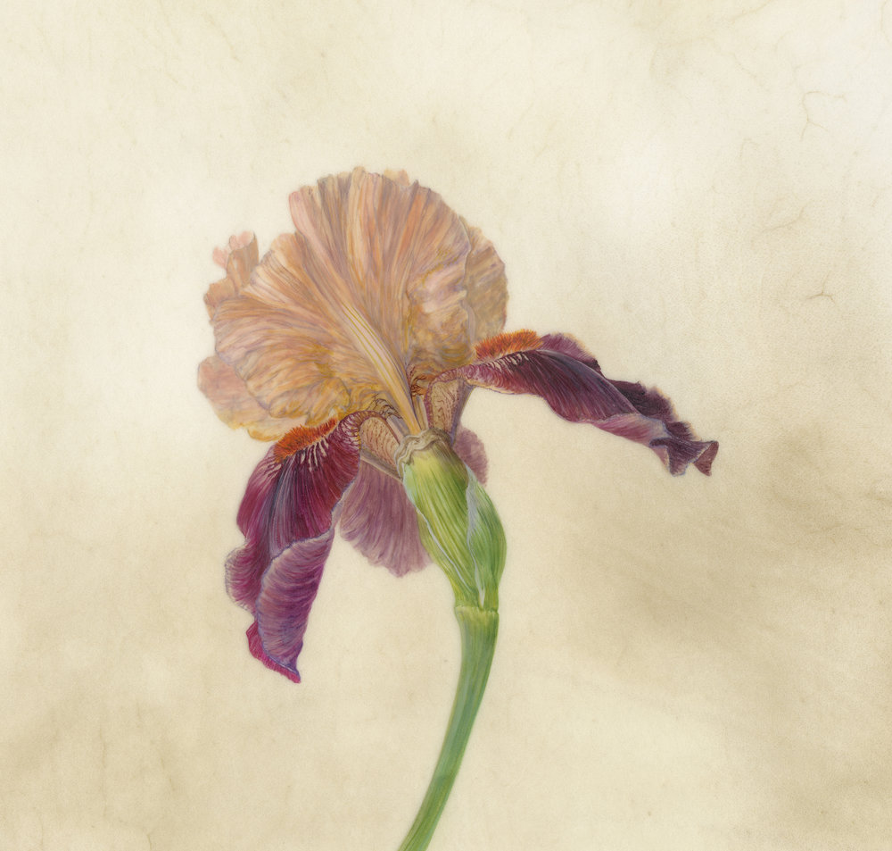 Iris Recogniton III Cimarron Strip  watercolour on vellum  21 x 21 cm image  45 x 45 cm framed  £720