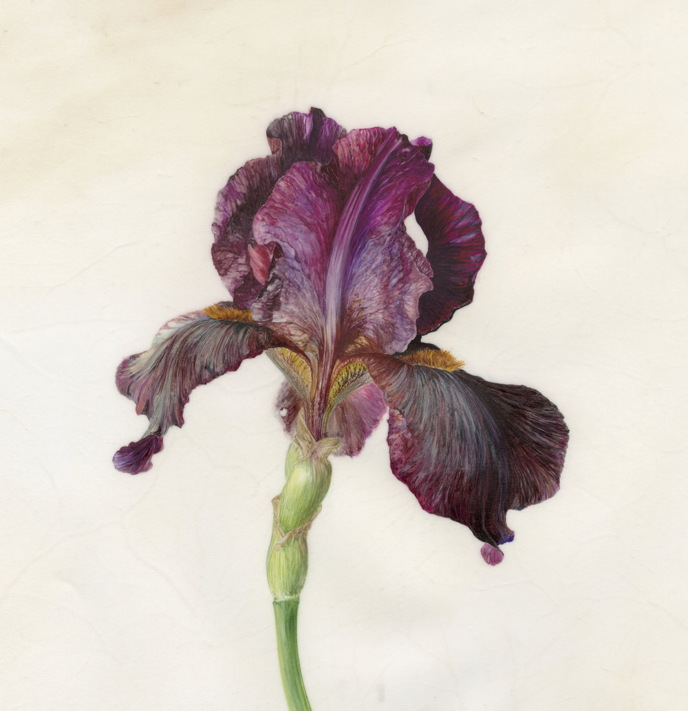 Iris Recogniton II Langport Wren  watercolour on vellum  21 x 21 cm image  45 x 45 cm framed  £720