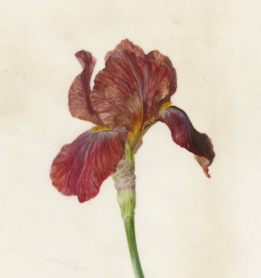 Iris Recogniton I Quechee  watercolour on vellum  45 x 45 cm framed  sold