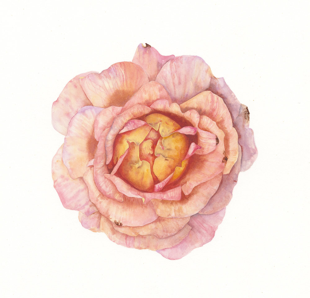 Rosa Grace  watercolour on paper  21 x 21 cm image  44 x 44 cm framed  £595