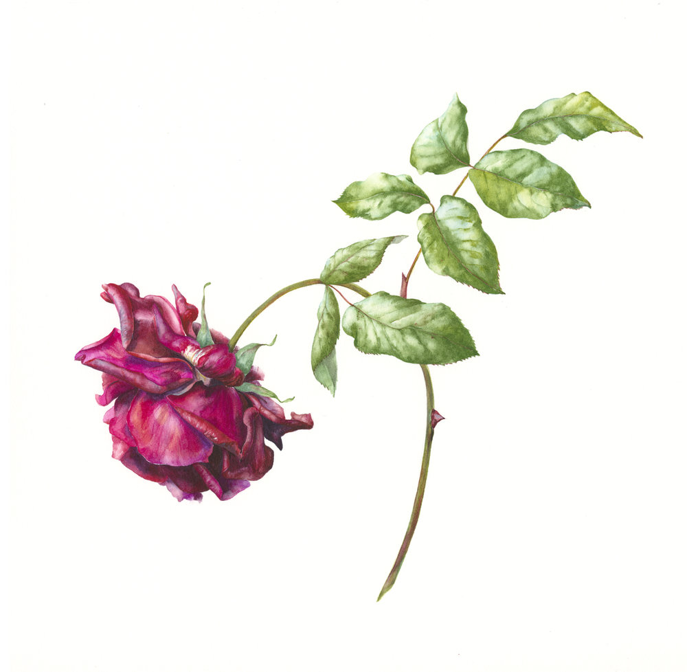 Rosa Guinee  watercolour on paper  31 x 31 cm image  54 x 54 cm framed  £880
