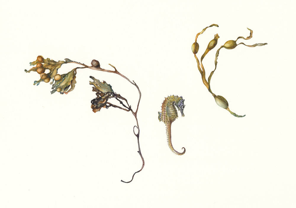 Seaweed and Seahorse  watercolour on paper  30 x 20 cm image  53 x 43 cm framed  £960