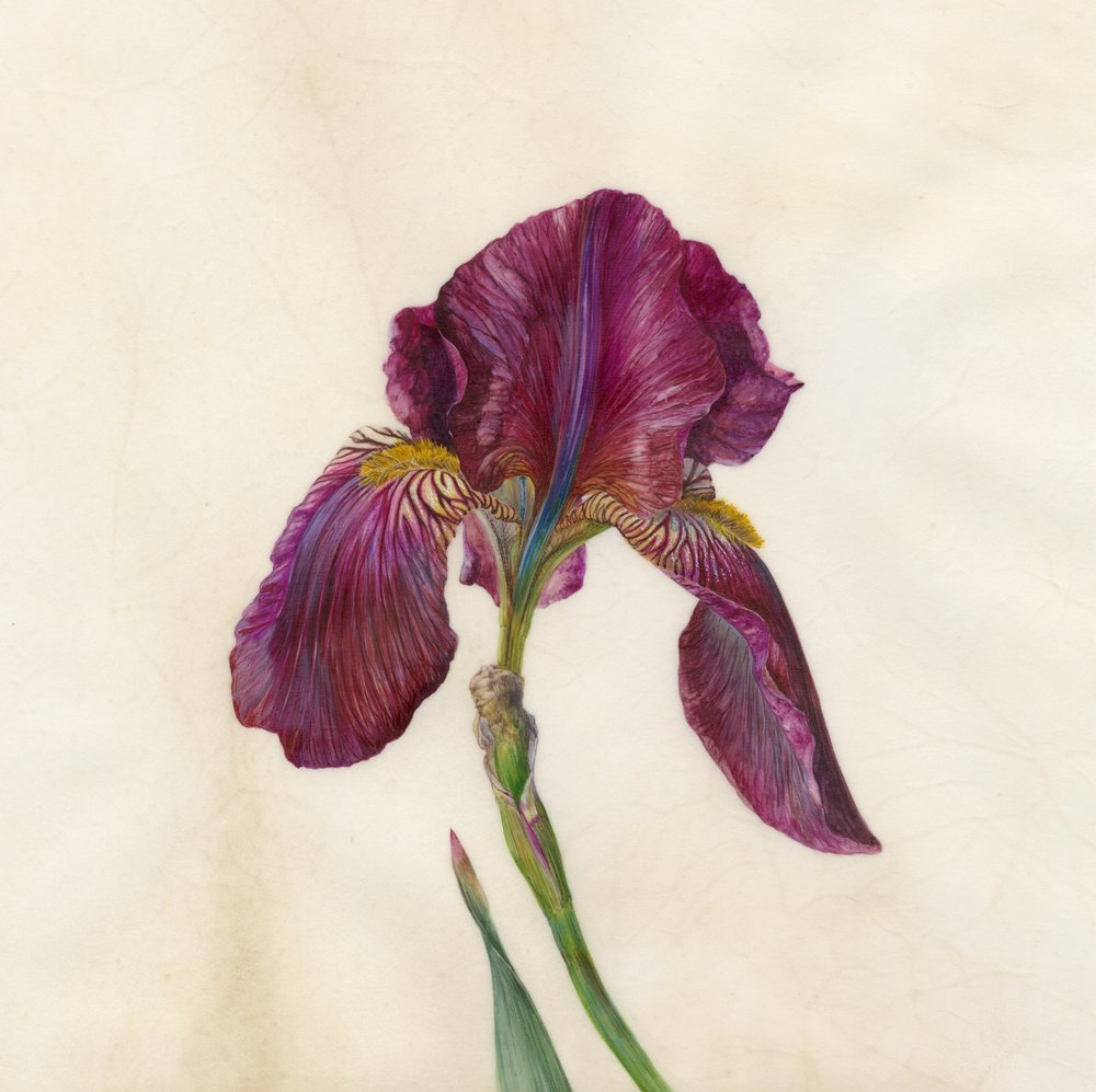 Iris Recognition V Red Orchid  watercolour on natural calfskin vellum  frame 45cm x 45cm  image 21.5cm x 21.5cm  £720 framed