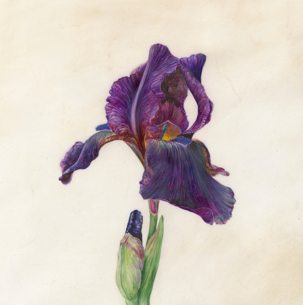 Iris Recognition VI Superstition  Watercolour on vellum  45 x 45cm framed  21.5 x 21.5cm image  £720 framed