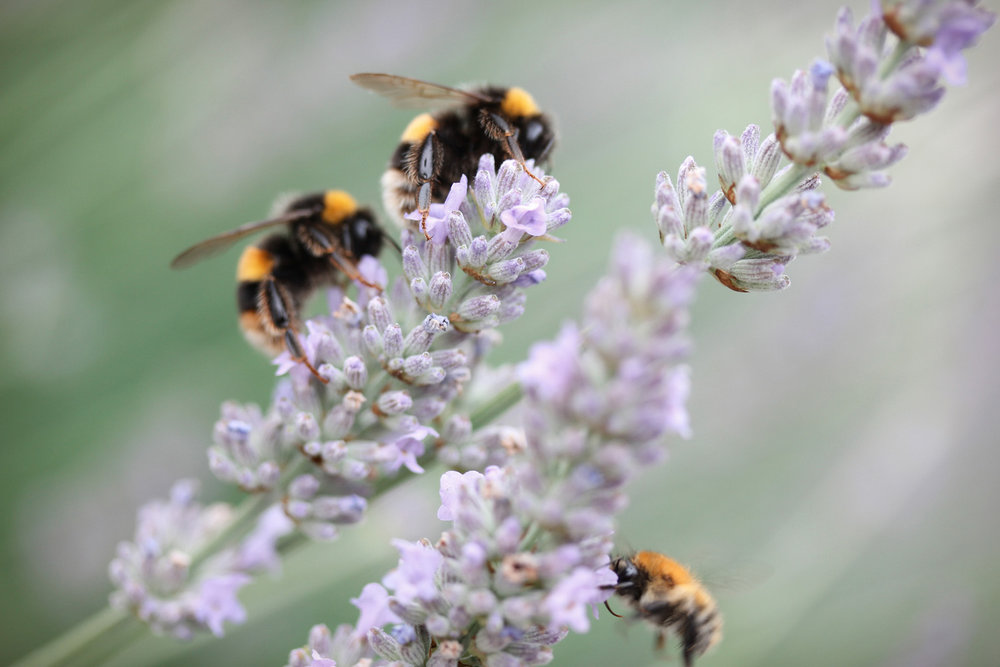 Lavender + Bees