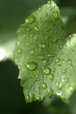 wet leaf.jpg