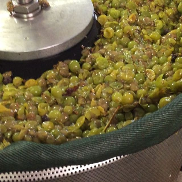 Blanc du Bois pressing day! #texas #texaswine #grapepress #blancdubois #texaswinery #texasgrapes