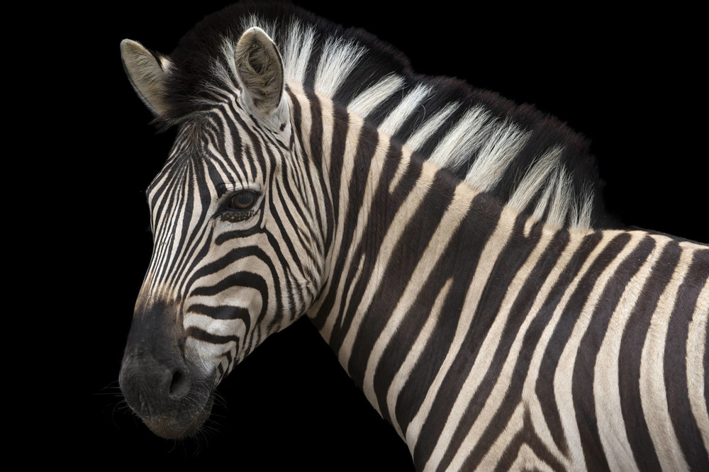 A Damara zebra (Equus burchellii antiquorum) at the Naples Zoo.