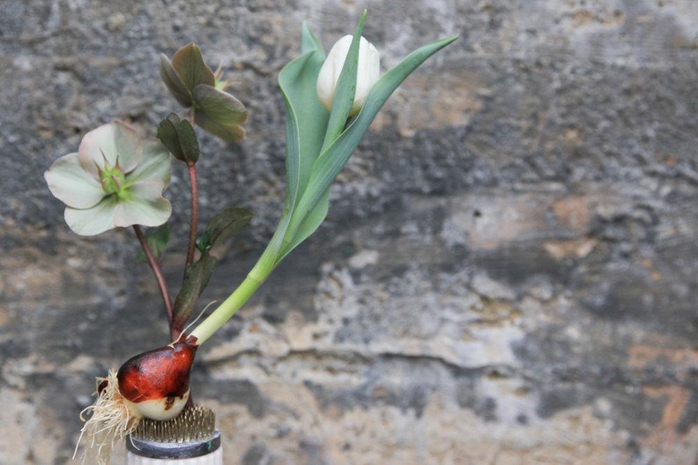 tulip bulb on frog.jpg