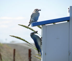 bickleton-bluebird.jpg