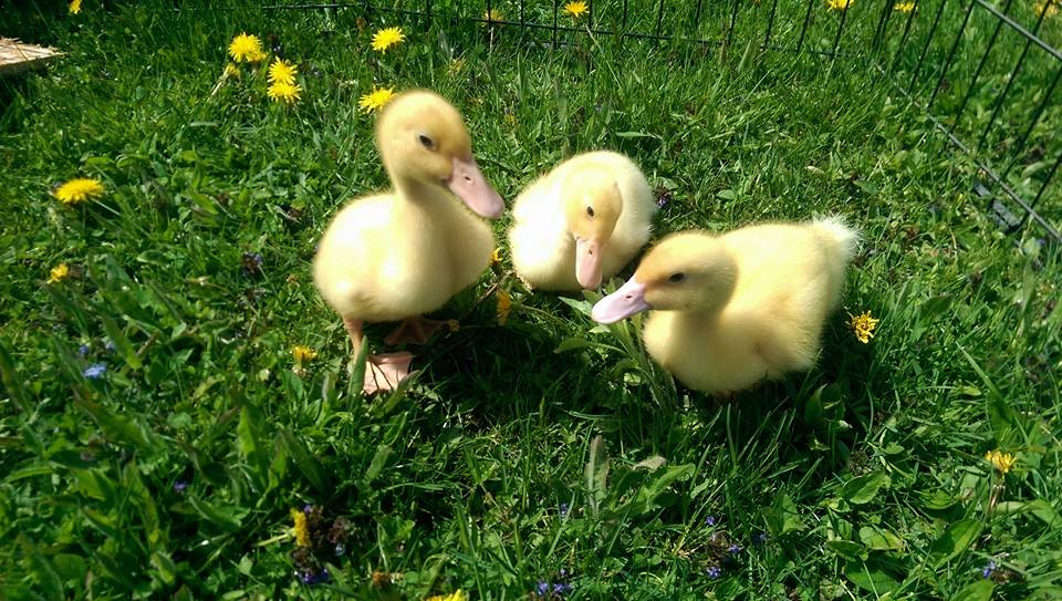 The ducklings, on their first field trip!