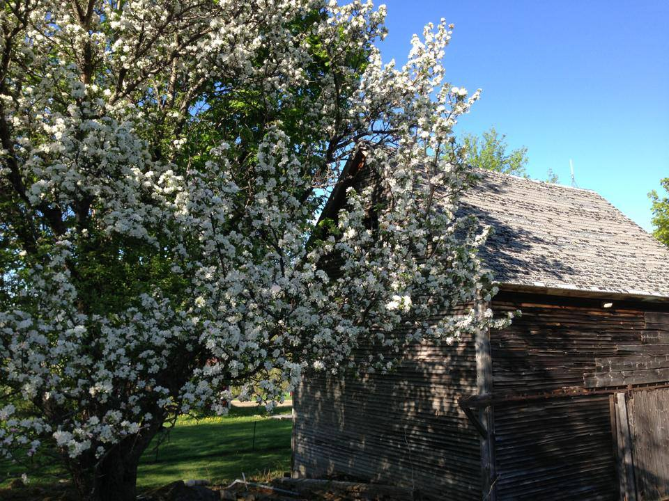 Apple blossoms, alongside the barn