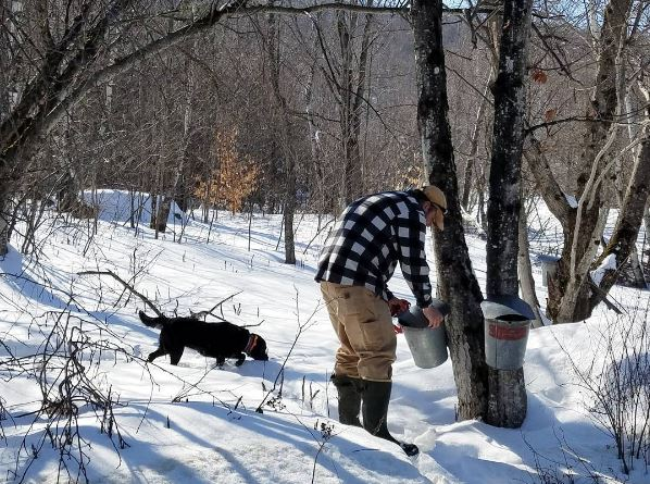 Collecting maple sap from the trees