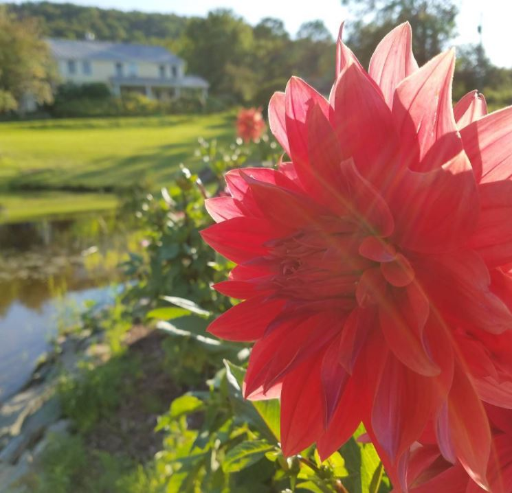 Dahlia and Vermont Bed and Breakfast at Russell Young Farm