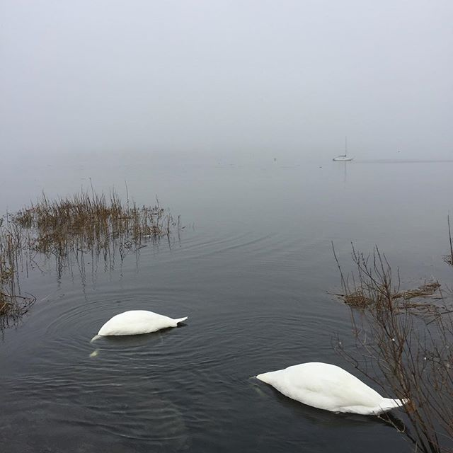 Swans in the Bay this morning. #warren #rhodeisland #coastalnewengland #eastbaybikepath
