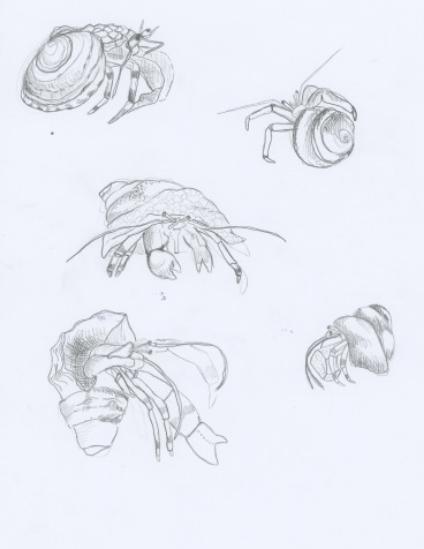 Hermit Crab 1.jpeg