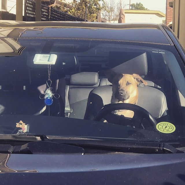 """#DoggyDriving. It only took a split second. As soon as I walked away, she jumped in the front seat. """"I got this!"""" she seems to be saying."""