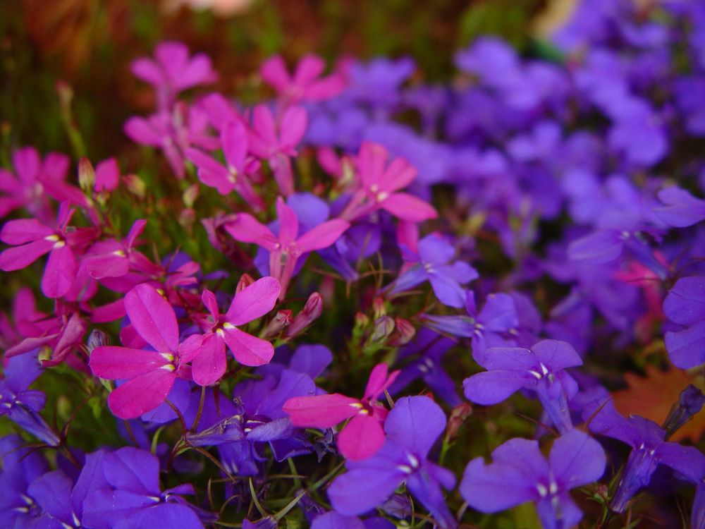Blue_and_purple_flowers_against_unfocused_purple_flowers.jpg