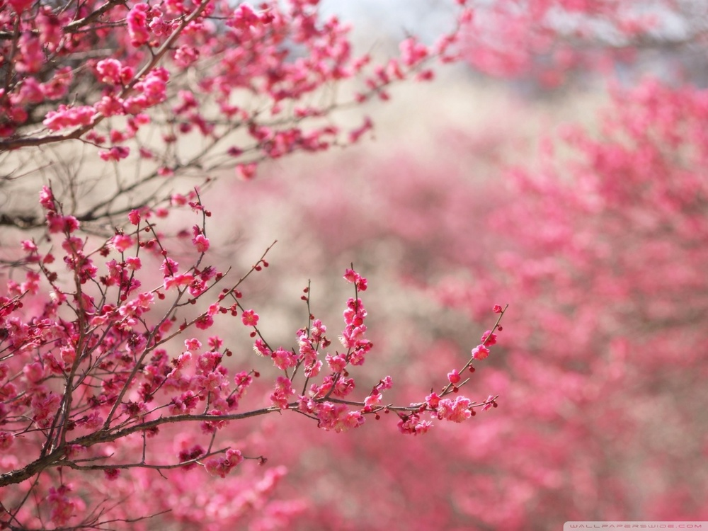 sakura_cherry_blossom-wallpaper-1600x1200.jpg