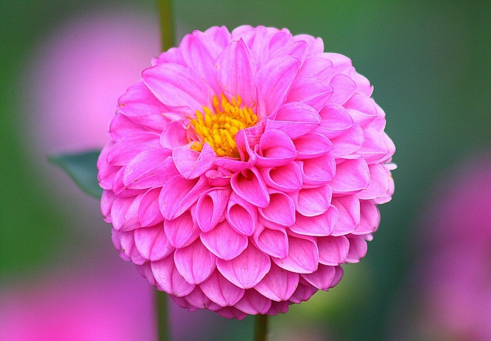 beautiful_dahlia_flowers-other.jpg