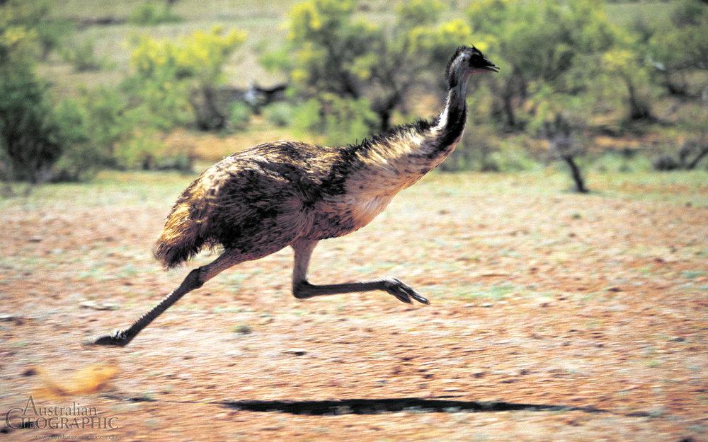 Emu Running.jpg