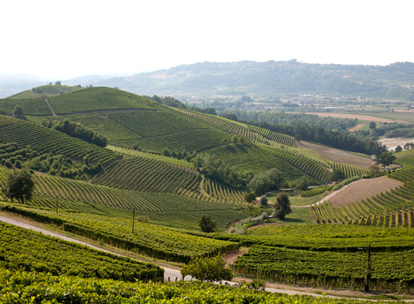 The Vineyards in Barbaresco