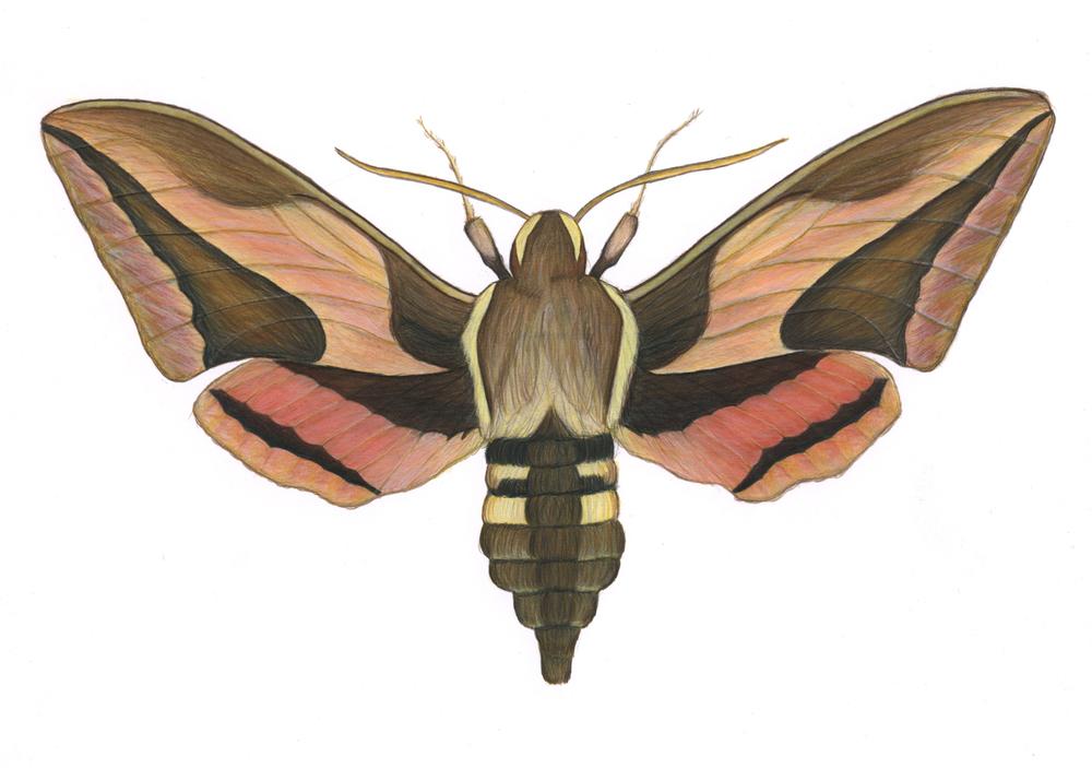 Hummingbird Moth Specimen