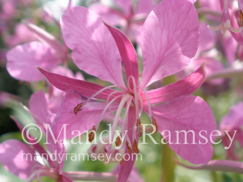 2. FIREWEED FAIRY