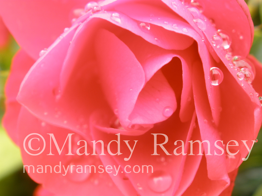 20. ROSE WITH DROPLETS