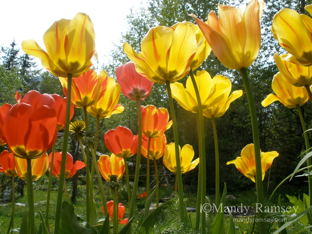 33. YELLOW AND RED TULIP FIELD