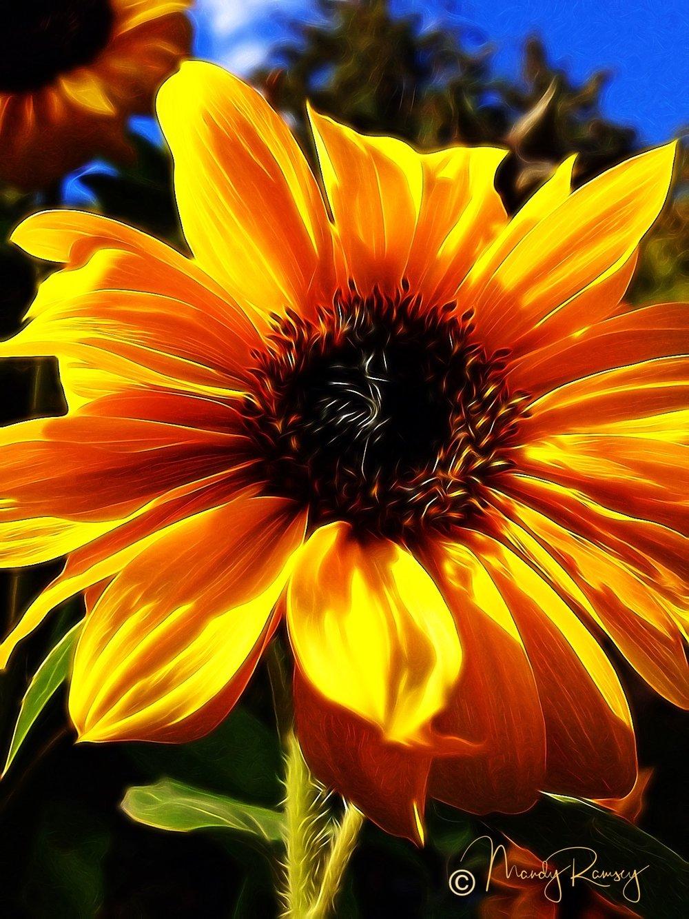 amplified sunflowerwatermarked.jpg