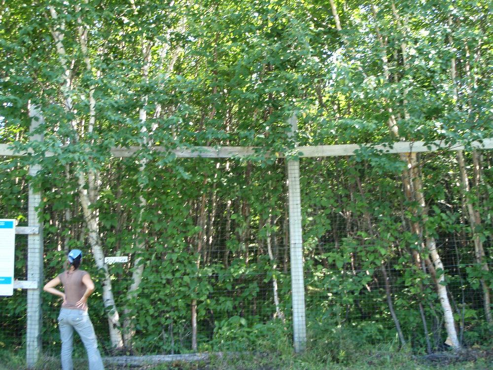 Et à une distance de moins de 10 m de ces épinettes, l'exclos de Caillou!