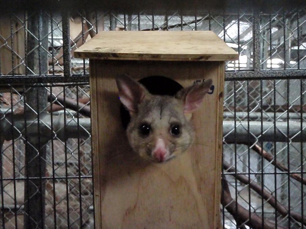 Opossum d'Australie qui attend son souper