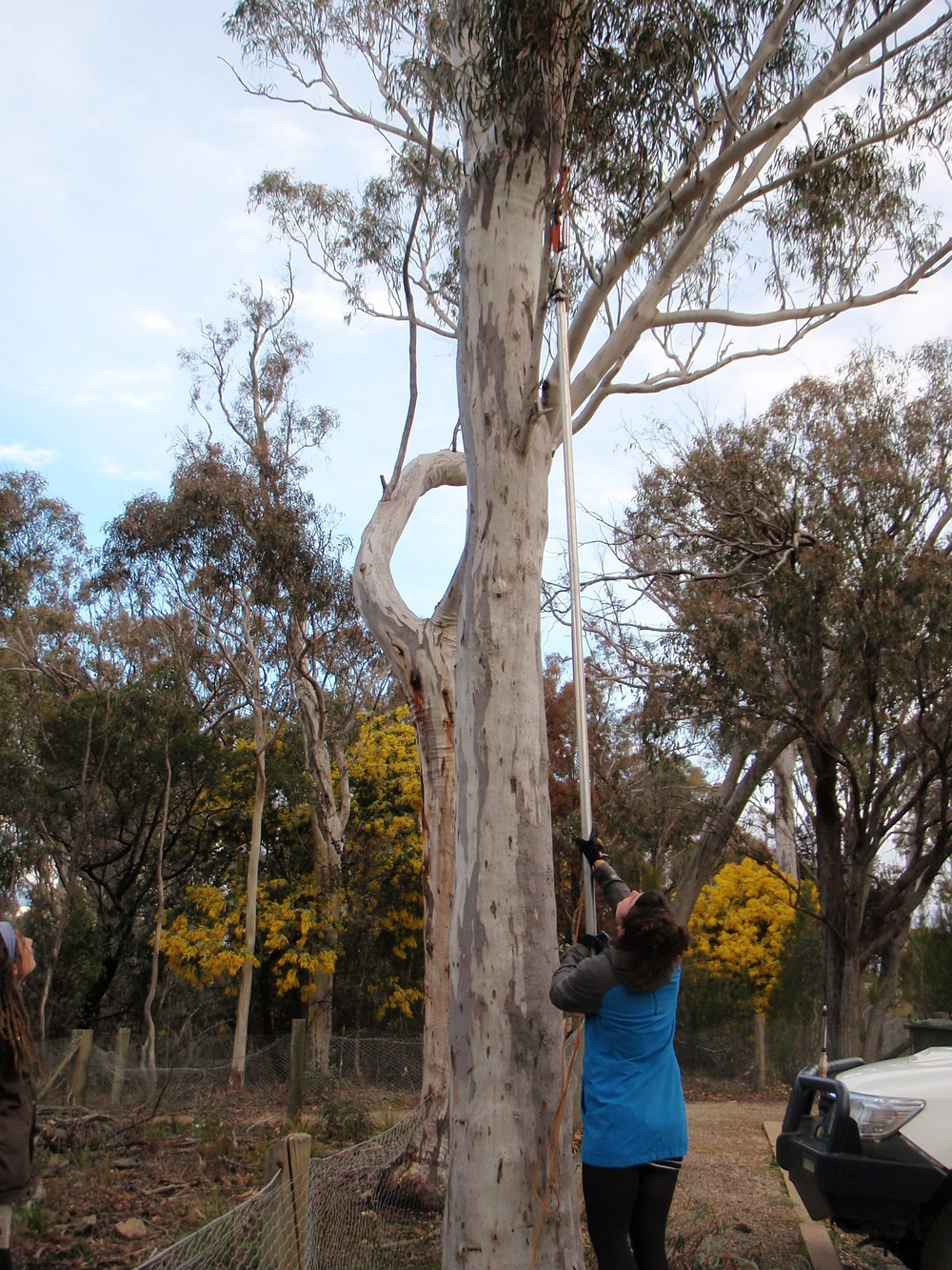 On coupe des branches d'une espèce spécifique d'Eucalyptus pour nourrir une autre espèce d'opossum, le possum à queue en anneau.