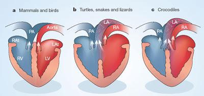Comparaison du coeur des mammifères et des oiseaux, des tortues et amis, et des crocodiles. Image tirée de ce site http://www.cafe-sciences.org/billets/tag/crocodiles/ dans un billet écrit par hans