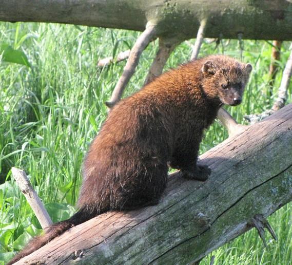 Un Pékan! Un animal peu connu du Québec. Photo http://bioparc.ca/animaux/pekan/
