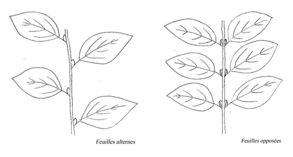 Une illustration par  Benoit  qui démontre efficacement deux types de feuilles fréquentes.