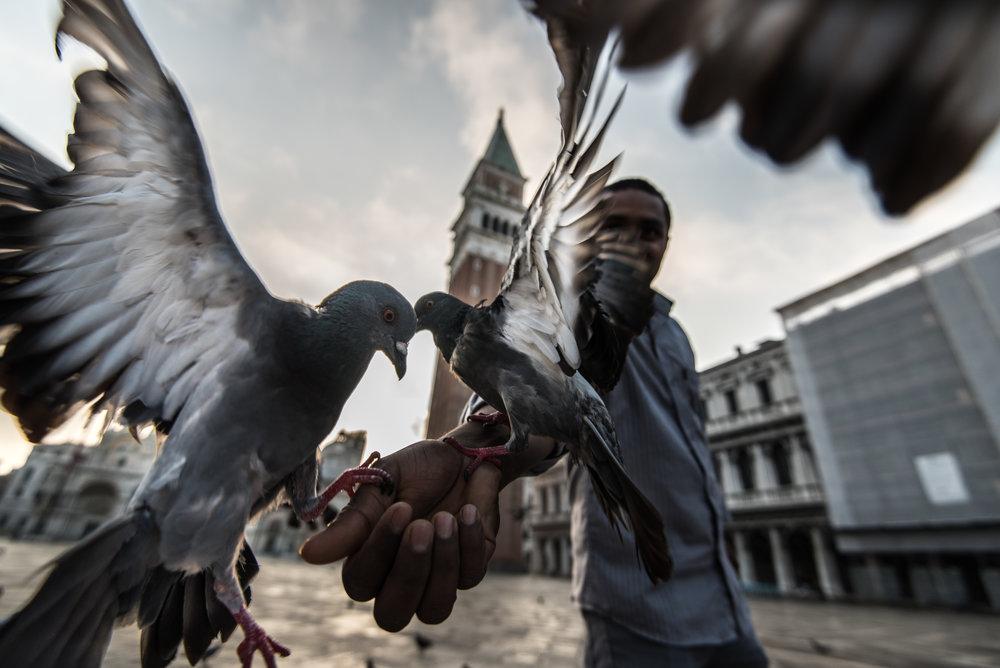 Pigeons in San Marco Square.jpg