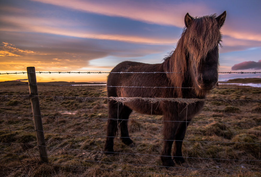 Icelandic Horses 4.jpg
