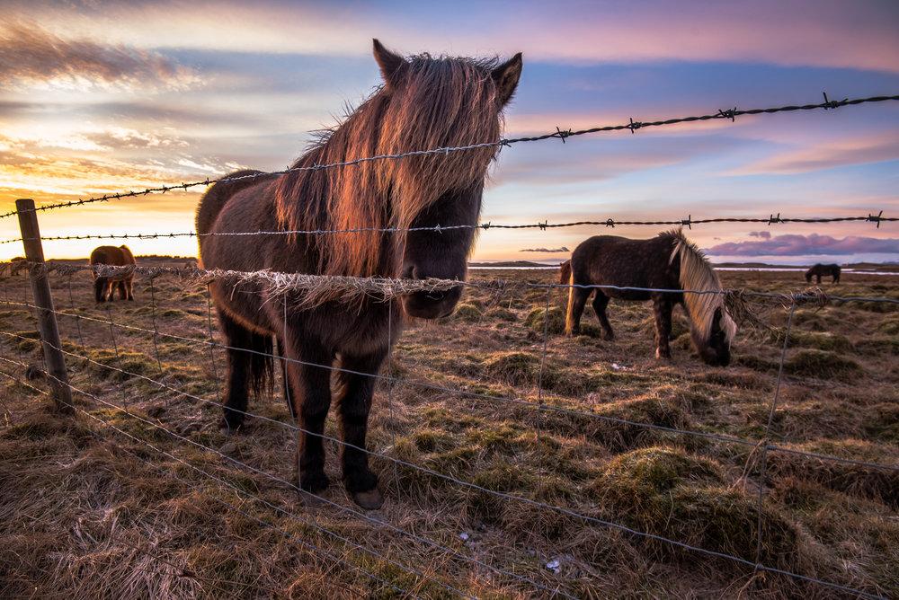 Icelandic Horses 5.jpg