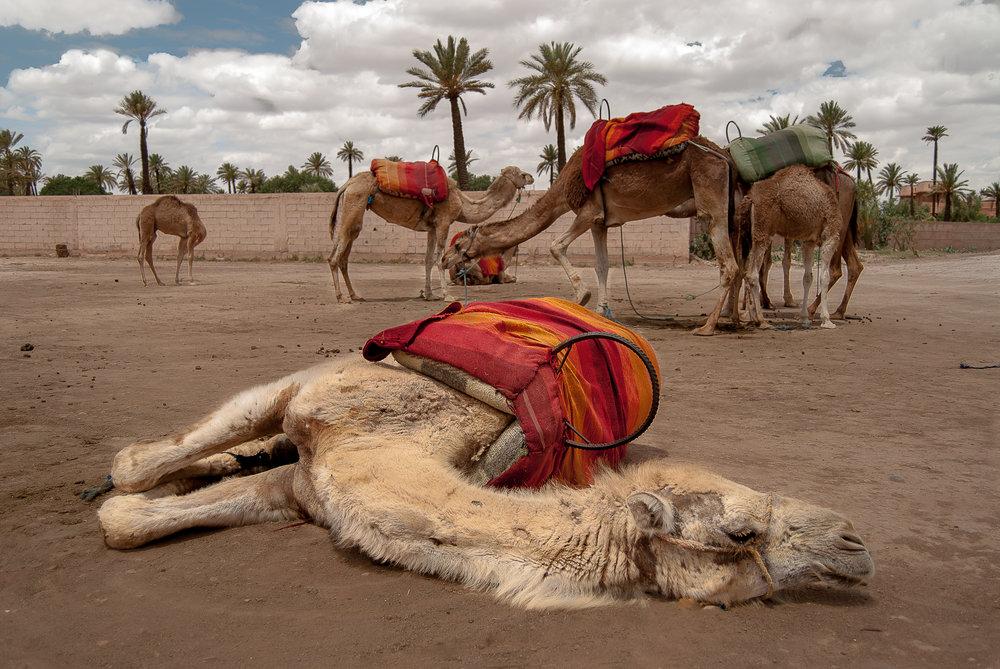 Marrakech Camels.jpg