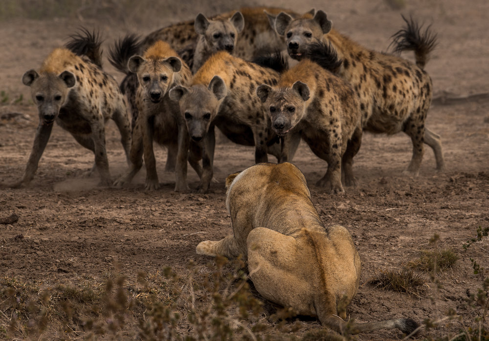 One Lion, Six Hyena.jpg