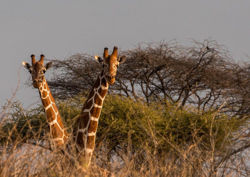 Giraffes necking.jpg