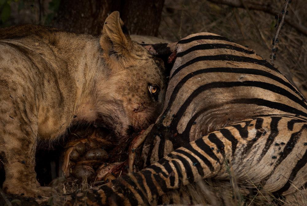 Zebra Meat.jpg