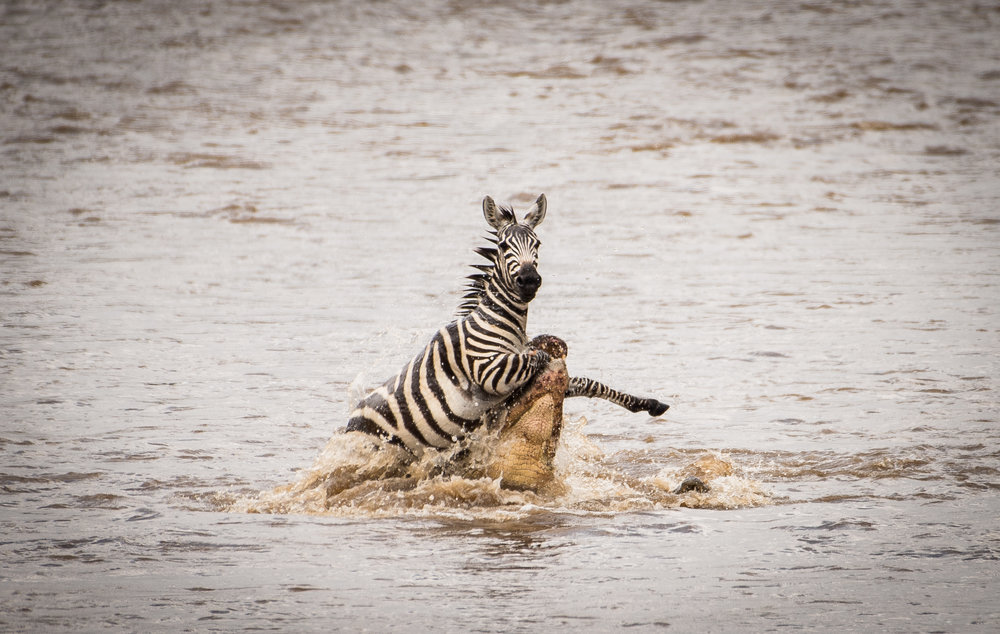 Crocadile Taking Zebra.jpg