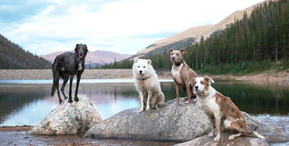 Tom, Atlas, Mudd and Zarah practice their obedience training by posing on the place command during an off-leash hike.