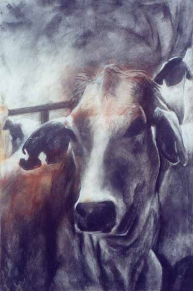 Grey Heifer.   Charcoal on rag-paper. 58 x 38cm.  ©  2004 Ida Montague. Corporate collection, Brisbane.