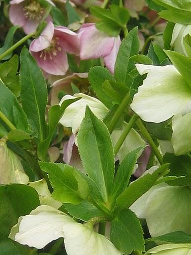 Lenten Roses James Farmer