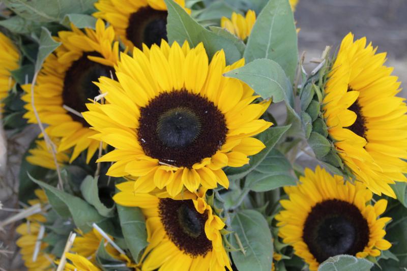 GenniferRose_Sunflowers_HalfMoonBay
